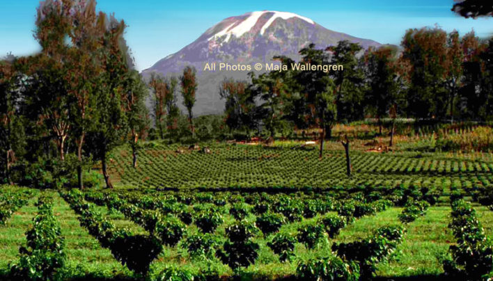Coffee Replanting in Tanzania at Mt Kilimanjaro