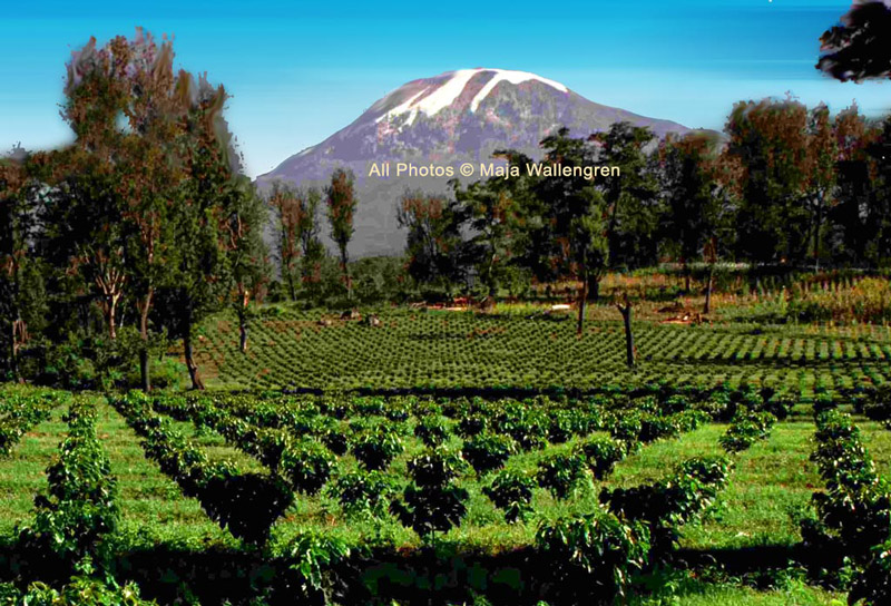 New Coffee In Tanzania at Mt Kilimanjaro