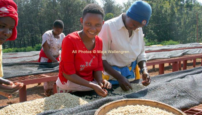 Elephant Friendly Coffee at Tanzania's Oldeani Coffee Estate