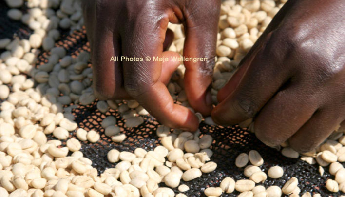 Sorting Parchment Coffee Beans in Tanzania