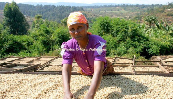 Arabica Coffee Drying in Tanzania