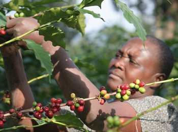 Coffee Production in Tanzania