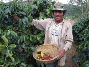Arabica Coffee Picking in Vietnam's Dalat Province