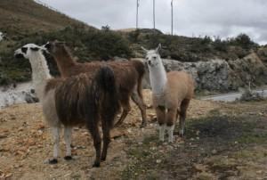 Baby Llama in Ecuador's Alpine Coffee Lands