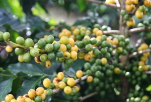 Brazil Specialty Coffee Yellow Bournon