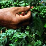 Evidence Grows of Lower Than Expected Coffee Harvest in Vietnam