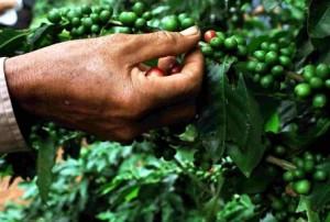 Careful Coffee Picking of Only Ripe Arabica Cherries In Vietnam