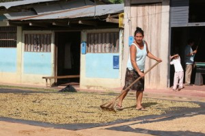Coffee Drying In Northern Moyobamba in Peru's