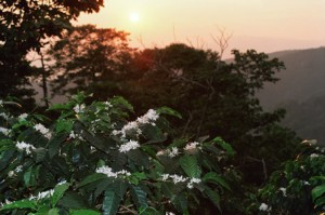 Coffee Flowering at Finca Hamburgo in Chiapas in Mexico