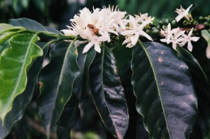 Coffee Flowering in Puebla in Mexico