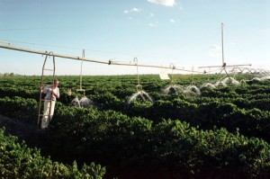 Coffee Grown in Pivots Under Irrigation In Brazil