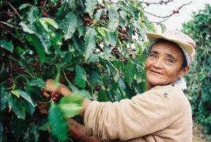Coffee Picker In Bahia in Brazil