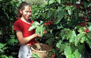 Coffee Picking in Honduras