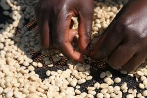 Coffee Sorting in Tanzania