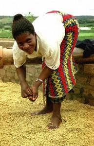 Drying Coffee In Zambia
