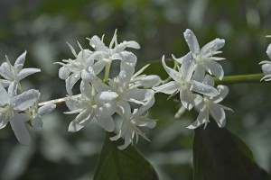 El Injerto Coffee Flowering in Guatemala Photo Courtesy of Anacafe