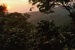 Flowering for new Coffee Crop in Southern Mexico's Chiapas