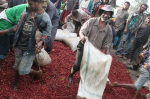 Fresh Cherries Unloaded at Wet Mill in Papua New Guinea