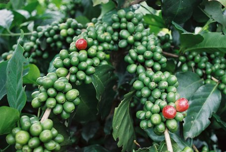 Vietnam Picks Up New Coffee Growth In Recent Years