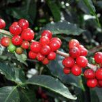 Noticias de Café en Español próximamente por Spilling The Beans