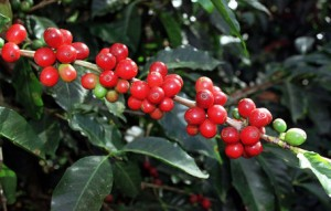 Perfect Arabica Coffee Cherries in Branches in Honduras