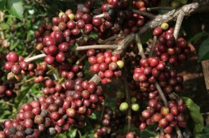 Robusta Coffee Yields in Vietnam
