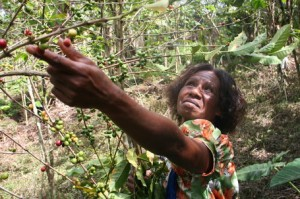 Woman Picking Coffee at Aipos Village in Papua New Guinea