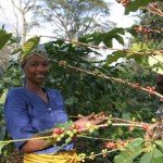 Tanzania Sees Bumper Coffee Harvest In 2014-15 of 917,000 Bags