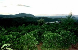 Zimbabwe Coffee Farm in Chimanimani Before Land Invations