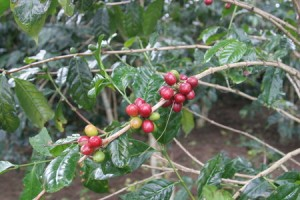 Coffee Cherries After The Rains