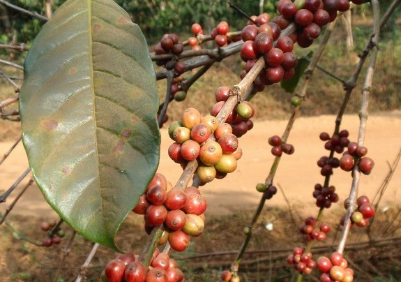 USDA Pegs 2013-14 Coffee Harvest To Drop By 2.8M Bags To 150.5 Mln 60-Kg Bags