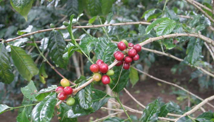 MARKET ANALYSIS: World Coffee Market Continues In Defecit and 2016-17 Could be Worse