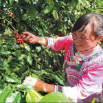 Coffee of The Day: Medium Roast From China's Yunnan Province