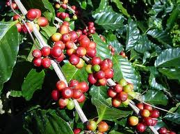MARKET INSIGHT: March Arabica Coffee End Up 1.55 Cents At $1.1530/Lb Dec 20 As Vietnam Concerns Persist