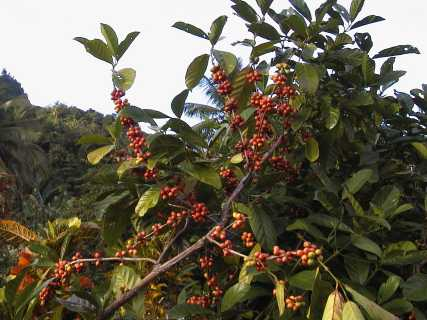 COMING UP: The Philippines, South Sudan, Japan, Ecuador, China, Kenya, The Arabica-Robusta Balance