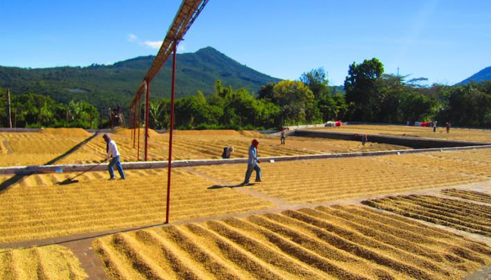 El Salvador Cuts 2013-14 Coffee Crop View, Harvest Now Seen Down 58% To 554,300 Bags