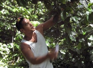 Tahiti Coffee in Rurutu