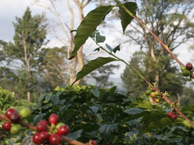 Coffee of The Day: Machare Estate From Mt Kilimanjaro in Tanzania