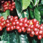 Brazil Coffee Exports Seen Up 7% To 30.5M Bags In 2013, Says Cecafe