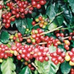 Brazil Agriculture Ministry Pledge To Suspend Coffee Farmers Debt