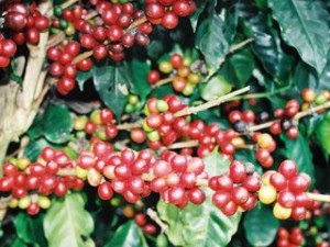 rsz_coffee_cherries_in_bahia_in_northern_brazil