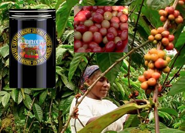 "Coffee of The Day ""Guadeloupe Bonifieur – An ""Exceptional Coffee"" From The Oldest of Coffee Lands"