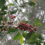 Mexico Oct Coffee Exports Down 28% To 168,338 Bags On Growing Rust Impact