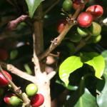 Blof del café: Após altas, produtor não deve exercer opção de venda de café