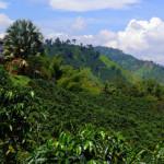 Colombia's New Coffee Harvest And Hacienda Venecia