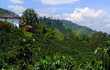 Colombia's New Coffee Harvest And Hacienda Venecia