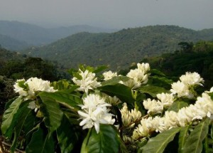 Coffee Flowering in Honduras Courtesy of Diana Osorto