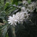 Fundação Procafé: Florada mostra problemas e acertos nas lavouras de café