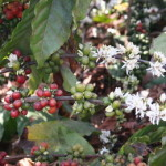 Nestlè Coffee Researchers De-Code Robusta DNA In New Study