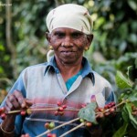 India Coffee Board Cuts 2013-14 Coffee Crop Forecast By 10% On Drought, Heavy Rains